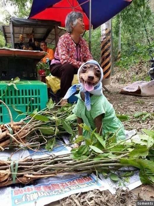 Hôm nay thì em chó mặc váy xanh chấm bi.(Ảnh: Internet)