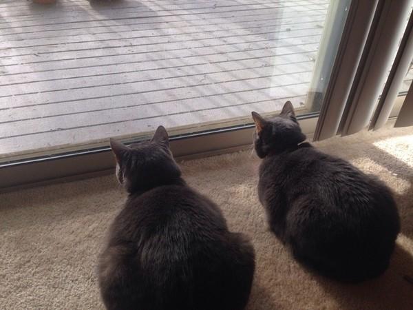 Khi hai mèo về một nhà! (Ảnh: Internet)