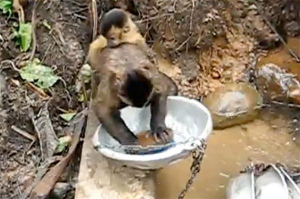 Trong đoạn clip, Pete không chỉ rửa chén thoăn thoắt mà còn địu một chú khỉ con trên lưng.(Ảnh: Chụp từ clip)