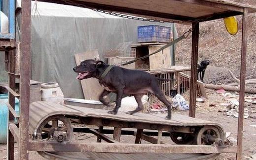 Máy chạy bộ cho chó, liệu bạn đã nghe qua? Nó được thiết kế bởi một nông dân ở thị trấn Thiệu Dương, tỉnh Hồ Nam. Dù được gọi là máy nhưng nó không có động cơ. (Ảnh: Internet)