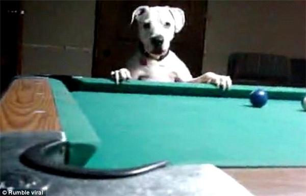Chỉ với hai bàn chân trước, chú chó này đã thật sự làm chủđược bàn bi da. (Nguồn: Internet)