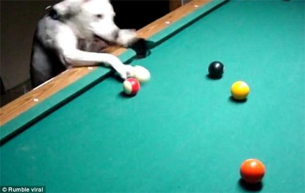 """Mặc dù vậy,con người vẫnđi từ ngạc nhiên này đến bất ngờ khác trong sự quan sát và thực hiệncú đánh bi da """"thần sầu""""của chú chó này. (Nguồn: Internet)"""