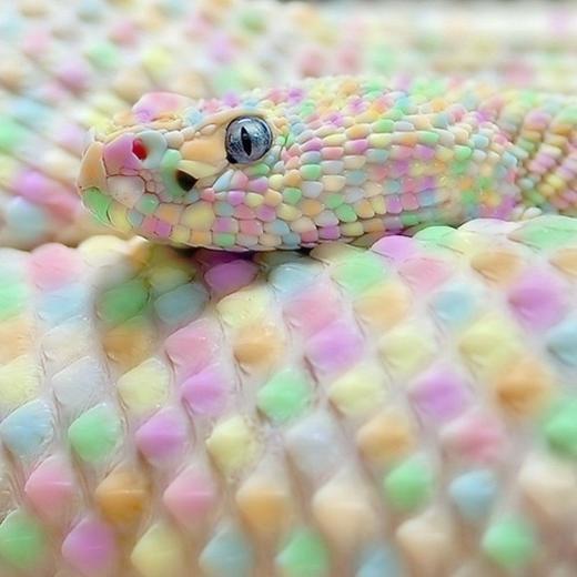 Con rắn có nhiều màu như cầu vồng, bạn tin không? (Ảnh: Internet)