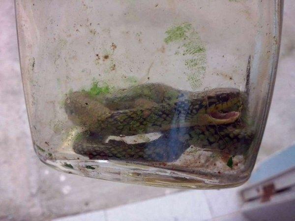 Con rắn Jararaca cực kìđộc đã bị cắn chết bởi cậu bé 17 tháng tuổi. (Ảnh: Internet)