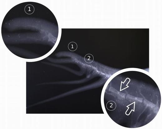Ảnh chụp X-quang của chiếc đuôi kì lạ.(Ảnh: Nicolás Pelegrin)