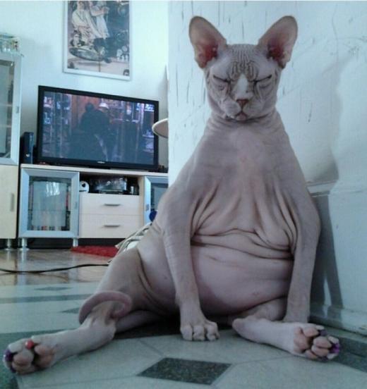 """""""Bể bụng"""" trước những chú mèo có tư thế ngồi không khác con người"""