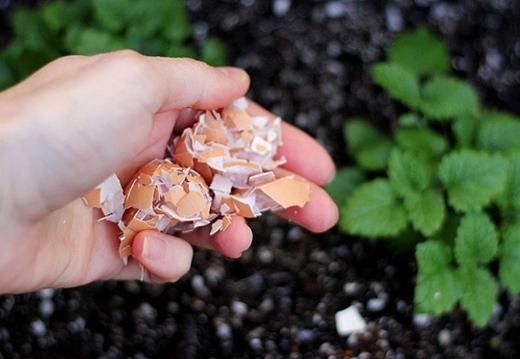 Để ngăn chặnsự tấn công của ốc sên, hãy rắc vỏ trứng quanh cây trồng.(Ảnh: Internet)
