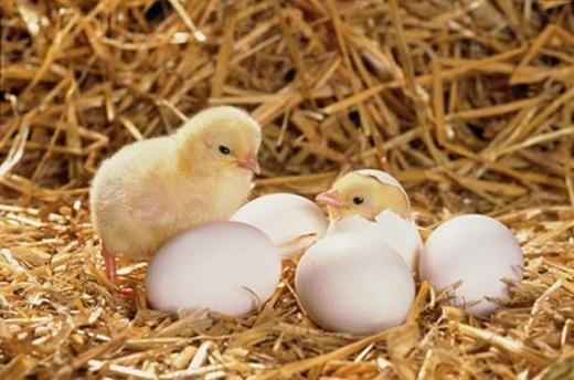 Các nhà khoa học đã chứng minh rằng, gà mái và chim sẽ đẻ thêm nhiều trứng khi được áp dụng phương pháp trên.(Ảnh: Internet)