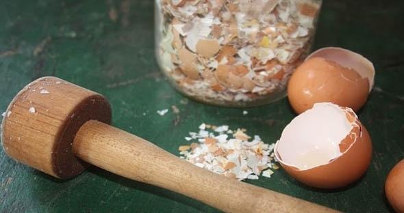 Chất dinh dưỡng từ vỏ trứng sẽ giúp cà chua ra quả ngon và không bị ủng nước. (Ảnh: Internet)
