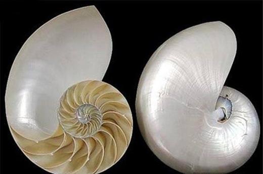 Hình xoắn của vỏ ốc biển quá đẹp phải không nào? (Ảnh: Internet)