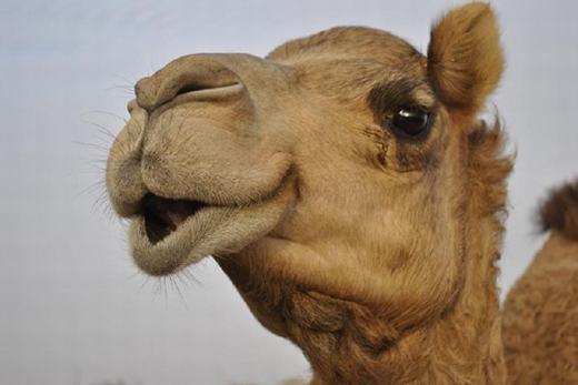 """Lạc đà – động vật nổi tiếng trên sa mạc – cũng có khả năng đánh rắm khiến các loài khác phải """"nể phục"""". Trước đây, nó thậm chí được cho là đánh rắm nhiều hơn cả bò. (Ảnh: Internet)"""