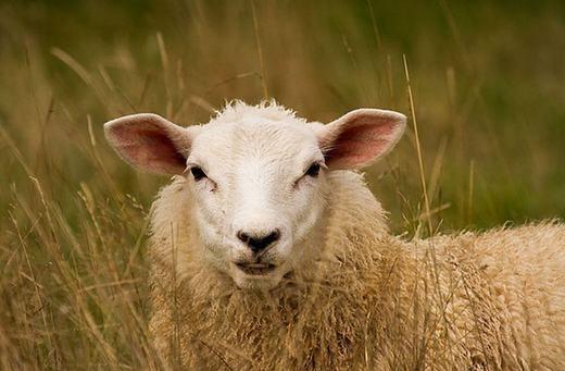 Tương tự như bò, cừu cũng là động vật nhai lại và tất nhiên, lượng methane thải ra thông qua đánh rắm cũng nhiềukhông kém: 8kg/năm. (Ảnh: Internet)
