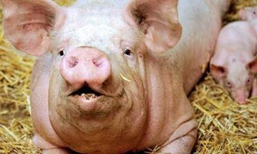 Lợn cũng nằm trong danh sách nàynhưng lượng khí methane mà nó thải ra chỉ vào khoảng 1,5kg/năm. (Ảnh: Internet)