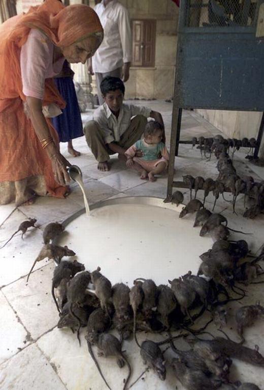 Có lẽ đây là nơi mà những chú chuột được sốngsung sướng nhất thế giới! (Ảnh: Internet)