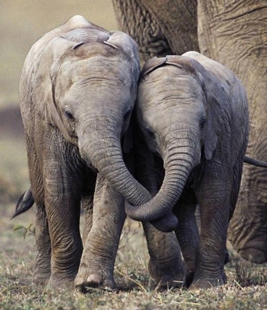 """Cảnh """"nắm vòi đi dạo"""" đầy tình cảm của hai chú voi con. (Ảnh: Internet)"""