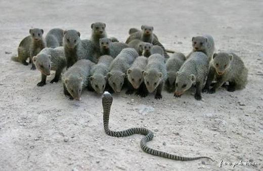 """Chú rắn """"dũng cảm"""" nhất thế giới là đây? (Ảnh: Internet)"""