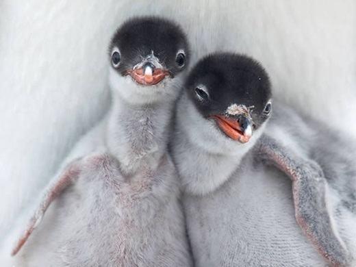 Còn đây là tình yêu thương mà hai chú chim cánh cụt con dành cho nhau. (Ảnh: Internet)