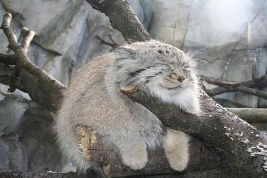 Các chân mèo Manul ngắn hơn, cân xứng theo tỉ lệ so với những con mèo khác, tai nằm rất thấp và xòe rộng.(Ảnh: Internet)