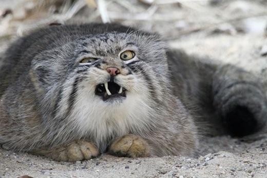 Chính vì khuôn mặt ngắn hơn so với những con mèo khác nên mèo Manul dễ tạo cho chúng ta cảm giác buồn cười khi nhìn vào bộ mặt dẹt ấy.(Ảnh: Internet)