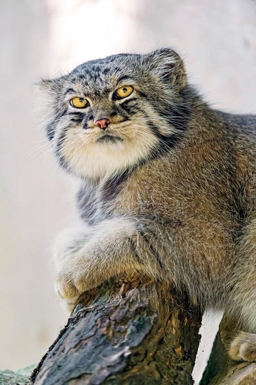 Điều đặc biệt là chú mèo này cũng rất điệu đà khi màu lông thay đổi theo mùa. Bộ lông mùa đông xám và ít hoa văn hơn so với mùa hè.(Ảnh: Internet)