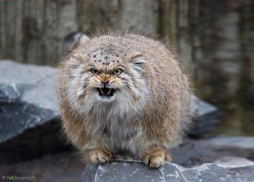Mèo Manul có bề ngoài khá dữ tợn.(Ảnh: Internet)