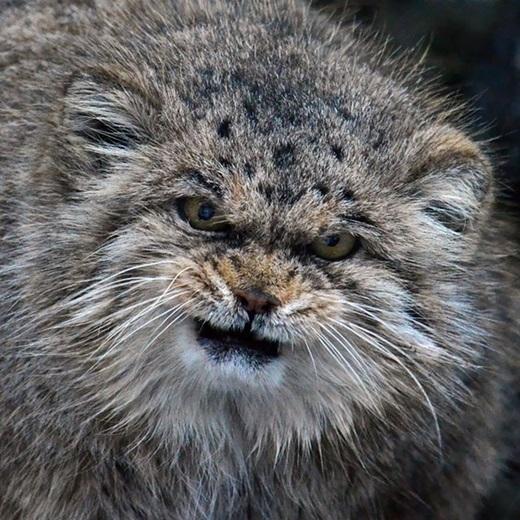Loài này chịu ảnh hưởng tiêu cực từ suy thoái môi trường sống, sự suy giảm con mồivà do bị săn bắn. Từ đó, chúngđược IUCN phân loại là sắp bị đe dọa kể từ năm 2002. (Ảnh: Internet)