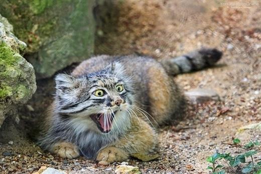 """Cư dân mạng """"đổ đứ đừ"""" vì biểu cảm """"bá đạo"""" của mèo Manul.(Ảnh: Internet)"""
