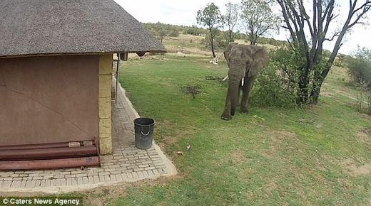 Chú voi từ xa chạy đến... (Ảnh: Internet)