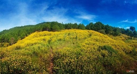 Đồi hoa vàng rực lêngiữa những rừng thông bạt ngàn.