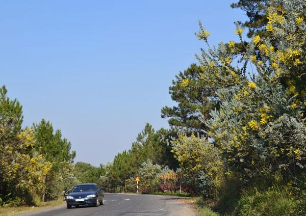 Mimosa nở rộ trên khắp các cung đường của thành phố Đà Lạt.