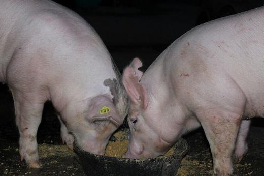 Nghiên cứu để tạo thức ăn cho lợn. Trong chăn nuôi công nghiệp, chế độ dinh dưỡng của lợn hết sức quan trọng. (Ảnh: Internet)