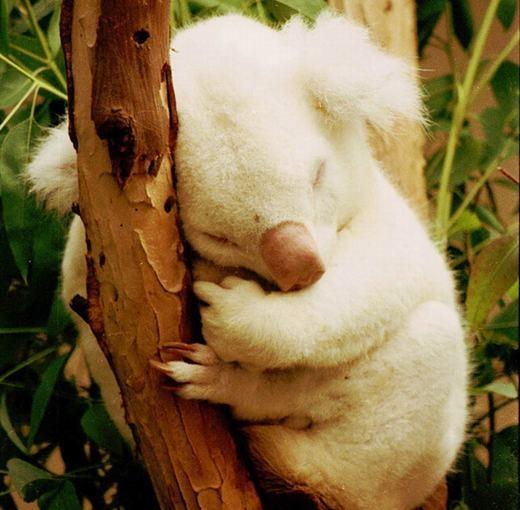 Onya-Birri - chú koala bị bạch tạng duy nhất được phát hiện từ trước đến nay.Onya-Birrihiệnđang được nuôi dưỡng tại vườn thú San Diego. (Ảnh: Oddee)