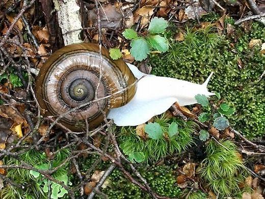 Một con ốc sên khổng lồ bị bạch tạng cực hiếmđượcphát hiện tại New Zealand. (Ảnh: Oddee)