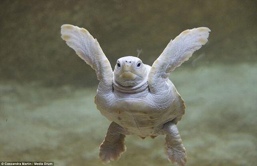 Rùa bạch tạng này có tên là Alba, sống tại Marineland Antibes, miền Nam nước Pháp.Chú rùa này được phát hiện một cách tình cờ bởi sinh viên 17 tuổi, Cassandra Martin. (Ảnh: Oddee)