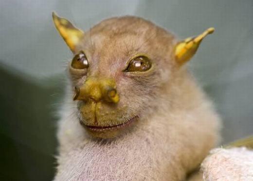 Đầu tháng 2/2011, người ta đã tìm thấy một chú dơi khá lạ với chiếc tai, mí mắt, mũi và miệng có màu vàng nghệ tại Papua, New Guinea. Riêng chiếc mũi có dạng như chiếc ống và vì thế, nó được gọilà dơi mũi ống. (Ảnh: Oddee)
