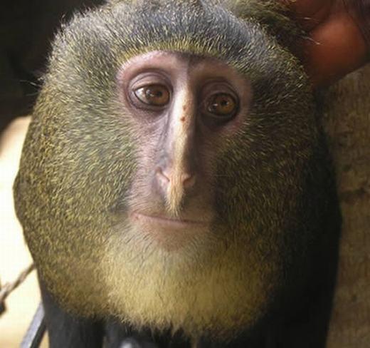 Đây là một loài khỉ sống trong các khu rừng xa xôi của nước Cộng hòa Dân chủ Congo, có tên khoa học là Cercopithecus Lomamiensis nhưng người dân địa phương gọi là LESULA. Đây là loài linh trưởng mới thứ hai được phát hiện trong 31 năm qua. (Ảnh: Oddee)