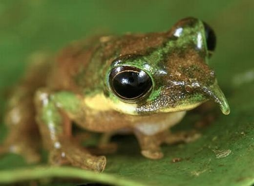 Ếch Pinocchio được phát hiện bởi Paul Oliver – một nhà sinh vật học của Úc. Nó có thể dễ dàng phân biệt với các loài ếch khác nhờ chiếc mũi dài của mình. (Ảnh: Oddee)