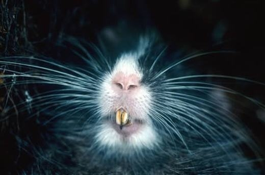 Đây là chuột cây Chinchilla (tên khoa học là Cuscomys ashaninka) được phát hiện bởi một nhóm các nhàsinh vật họckhi đang thám hiểm dãy Vilcabamba của Peru. Loài chuột này có màu lông xám nhạt, cơ thể săn chắc, móng vuốt lớn và dễ nhận biết nhờ sọc trắng dọc theo đầu. (Ảnh: Oddee)