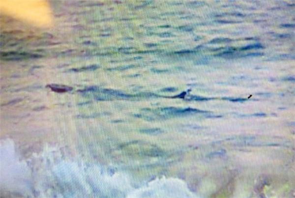 """""""Cá lạ"""" xuất hiện gần bờ biển Phú Yên. Ảnh: BQL trật tự tuyến biển TP Tuy Hòa."""
