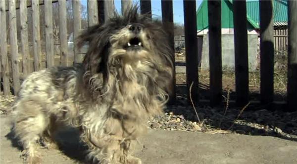 Chú chó nhỏ đã dũng cảm chống lại con gấu để cứu hai em bé. Ảnh nguồn: Russia Today