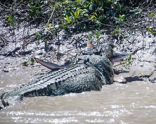 """Chú cá mập bò tội nghiệp bị cá sấu kết liễu chỉ sau một cú ngoạm chết chóc. Cá sấu được mệnh danh là """"sát thủ đầm lầy"""" và khó con vật nào có thể thoát. (Ảnh: Innamag)"""