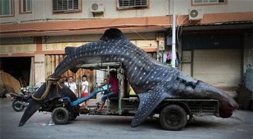 Một con cá mập voi vô tình sa lưới ngư dân. Đây là loài to lớn nhưng lại rất dễ bị gặp nguy hiểm. (Ảnh: Innamag)