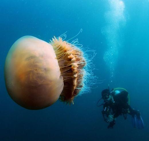 Những con sứa khổng lồ từng khiến ngư dân Nhật Bản lao đao do xâm chiếm bờ biển. Chúng xuất hiện đồng thời hàng ngàn con, mỗi con có trọng lượng lên tới 200kg. (Ảnh: Innamag)