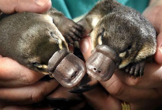 Những con thú mỏ vịt này cực kì dễ thương đúng không? Nhưng khi lớn lên, vào mùa sinh sản, chúng có thể tiết nọc độc. Nếu chúng ta lỡ chạm vào chất độc đó, tuy không nguy hiểm đến tínhmạngnhưng nạn nhân sẽvô cùng đau đớn. (Ảnh: Innamag)