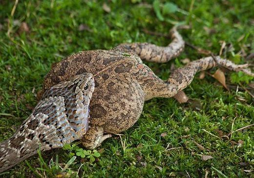 Con rắn đang bắt đầu nuốt chửng con ếch lớn hơn nó nhiều lần. (Ảnh: Innamag)