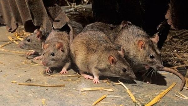 Bệnh lan truyền do bọ chét kí sinh trên chuột, thỏ
