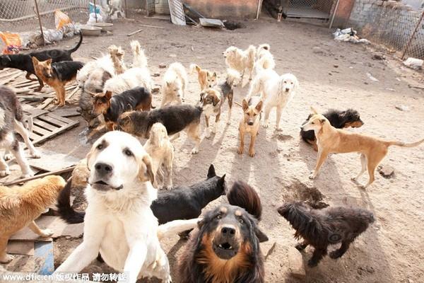 Bên Wang Yan chỉ còn 215 con chó là bạn mỗi ngày.