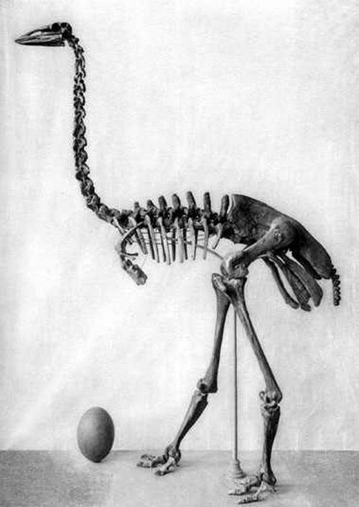 Ngày nay, đà điểu được xem là loài chim lớn nhất thế giới. Nhưng cách đây vài trăm năm, vào thế kỉ 18 trở về trước, có một loài còn lớn hơn, đó là chim voi Aepyornis. Loài chim này cao 9m, nặng 454kg nhưng đã biến mất khỏi Trái đất không rõ nguyên nhân. Nhiều nhà khoa học cho rằng sự tàn phá môi trường của con người khiến chúng không còn nơi trú ngụ và chết dần chết mòn. (Ảnh: Internet)