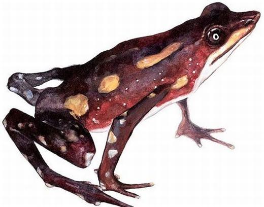 Atelopus longirostrislà một loài cóc mõm dài, được người ta nhìn thấy lần cuối năm 1989 trước khi biến mất. Các nhà khoa học cho rằng loài lưỡng cư này bị tuyệt chủng bởi bệnh chytridiomycosis gây ra do nấm Batrachochytrium dendrobatidis. Được biết, nếu loài lưỡng cư nào mắc phải bệnh này, tỉ lệ chết của nó là 100%. Mặc dù vậy, đây chưa phải là nguyên nhân chắc chắn. (Ảnh: Internet)