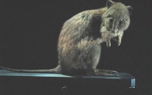 Úc là quê hương của nhiều động vật có túi, trong đó có chuột túi mặt rộng (tên khoa học là Potorous platyops). Thế nhưng, ngày nay không còn một con nào ở châu lục này. Nguyên nhân có thể là do con người xuất hiện, cộng với loài mèo hoang phát triển mạnh. Được biết, chúng biến mất hoàn toàn vào 1875. (Ảnh: Internet)